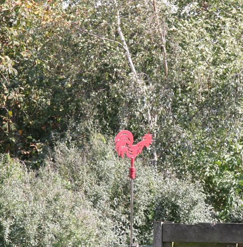 Rode haan Trees Korver.JPG v